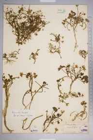 Ranunculus tripartitus herbarium specimen from Seaford, VC14 East Sussex in 1853 by Joseph Woods.