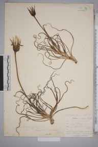 Tragopogon  herbarium specimen from Par Harbour, VC2 East Cornwall in 1901 by Mr Allan Octavian Hume.