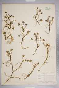 Ranunculus omiophyllus x tripartitus = R. x novae-forestae herbarium specimen from Padstow, VC1 West Cornwall in 1905 by Mr William Barratt.