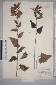 Campanula trachelium herbarium specimen from Cheddar Gorge, VC6 North Somerset in 1923 by Mr Job Edward Lousley.