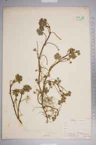 Ranunculus omiophyllus x tripartitus = R. x novae-forestae herbarium specimen from Denny, VC11 South Hampshire in 1882 by Mr Henry Groves.