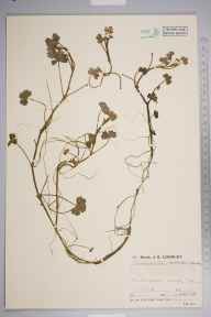 Ranunculus omiophyllus x tripartitus = R. x novae-forestae herbarium specimen from Setley Plain, VC11 South Hampshire in 1936 by Mr Job Edward Lousley.