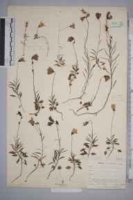 Campanula rotundifolia herbarium specimen from Kynance, VC1 West Cornwall in 1902 by Mr Frederick Hamilton Davey.