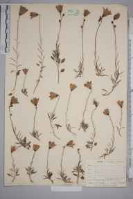 Campanula rotundifolia herbarium specimen from Great Orme, VC49 Caernarvonshire in 1905 by Mr Allan Octavian Hume.