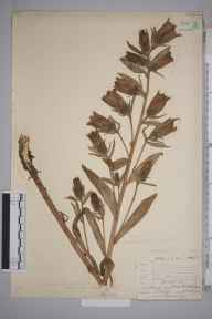Campanula  herbarium specimen from West Wickham, VC16,VC17 in 1904 by William Henry Griffin.