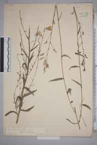 Campanula rapunculus herbarium specimen from Esher, VC17 Surrey in 1888 by Mr William Hadden Beeby.