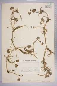 Ranunculus omiophyllus herbarium specimen from Chailey Common, VC14 East Sussex in 1933.