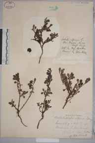 Arbutus alpina herbarium specimen from Ben Wyvis, VC106 East Ross & Cromarty in 1872 by Prof Thomas Barker.