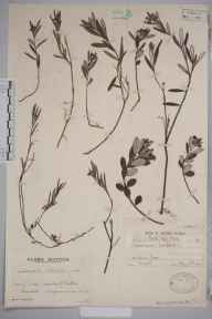 Andromeda polifolia herbarium specimen from Newton Stewart, VC74 Wigtownshire in 1937 by Mr Edward Charles Wallace.
