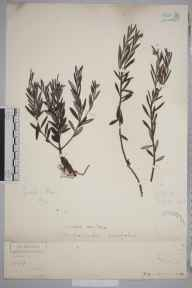 Andromeda polifolia herbarium specimen from Goole, VC63 South-west Yorkshire in 1906 by Henry Franklin Parsons.