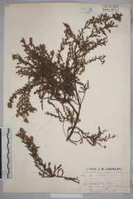 Calluna vulgaris herbarium specimen from Christchurch, Hengistbury Head, VC11 South Hampshire in 1924 by Mr Job Edward Lousley.