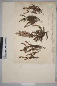 Calluna vulgaris f. alba herbarium specimen from Hensbarrow Downs, Cornwall in 1900 by Charles Baylis Green.