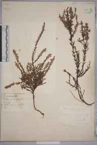 Calluna vulgaris herbarium specimen from Woking, VC17 Surrey in 1880.