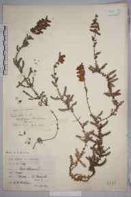 Erica ciliaris herbarium specimen from Bissoe, VC1 West Cornwall in 1904 by Mr Spencer Henry Bickham.