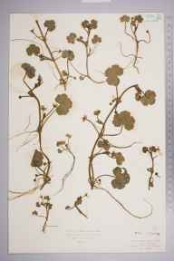 Ranunculus omiophyllus herbarium specimen from Chobham Common, VC17 Surrey in 1927 by Mr Isaac A Helsby.