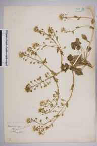 Cochlearia officinalis herbarium specimen from Kinghorn, VC85 Fifeshire in 1895.