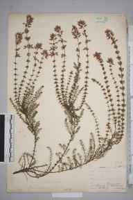 Erica cinerea herbarium specimen from Ranmore Common, VC17 Surrey in 1903 by William Henry Griffin.