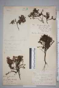 Kalmia procumbens herbarium specimen from Ben Hope, VC108 West Sutherland in 1871 by Thomas Howse.