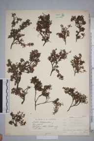 Kalmia procumbens herbarium specimen from Cairngorm Mountains, VC96 East Inverness-shire in 1884 by Mr James Groves.