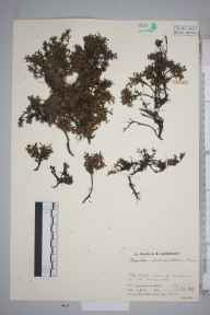 Kalmia procumbens herbarium specimen from Cairnwell, The, VC89 East Perthshire in 1932 by Mr Job Edward Lousley.