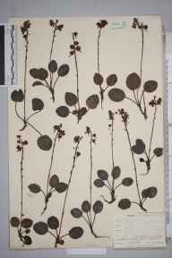 Pyrola rotundifolia subsp. maritima herbarium specimen from Formby Dunes, VC59 South Lancashire in 1905 by Mr Allan Octavian Hume.