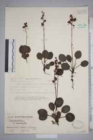 Pyrola rotundifolia subsp. maritima herbarium specimen from Ainsdale Dunes, VC59 South Lancashire in 1928 by J Davy Dean.