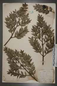 Ruscus aculeatus herbarium specimen from Epping Forest, VC18 South Essex by F Ke.