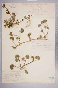 Ranunculus hederaceus herbarium specimen from Ottershaw, VC17 Surrey in 1884 by Mr William Hadden Beeby.