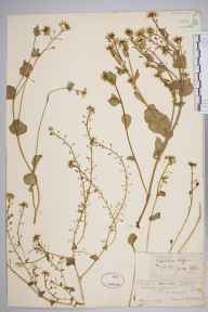 Cochlearia officinalis herbarium specimen from Cheddar Cliffs, VC6 North Somerset in 1852 by Mr Frederick Townsend.