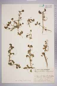 Ranunculus hederaceus herbarium specimen from Landewednack, VC1 West Cornwall in 1929 by Mr Job Edward Lousley.