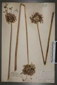 Allium ampeloprasum herbarium specimen from Saint Anthony in Roseland, VC2 East Cornwall in 1900 by Mr Allan Octavian Hume.