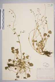 Cochlearia officinalis herbarium specimen from Ben Ime, VC98 Argyllshire in 1871 by Mr Frederick Townsend.