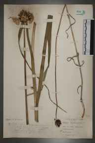 Allium scorodoprasum herbarium specimen from Bangor, VC49 Caernarvonshire in 1917 by Mr John Edwards Griffith.