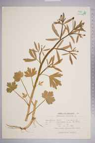 Ranunculus sceleratus herbarium specimen from Pett Level, VC14 East Sussex in 1961 by Peter Charles Holland.