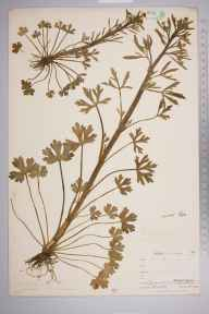Ranunculus sceleratus herbarium specimen from Upper West Looe River, VC2 East Cornwall in 1900 by Mr Allan Octavian Hume.