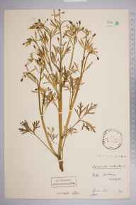 Ranunculus sceleratus herbarium specimen from Wallasey, VC58 Cheshire in 1907 by Stafford Edwin Chandler.
