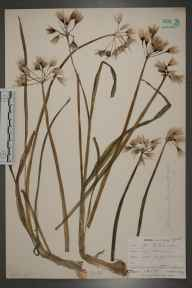 Allium triquetrum herbarium specimen from Ruan Minor, VC1 West Cornwall in 1899 by Mr Allan Octavian Hume.