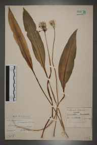 Allium ursinum herbarium specimen from Dunster, VC5 South Somerset in 1929 by Mr Edward Charles Wallace.