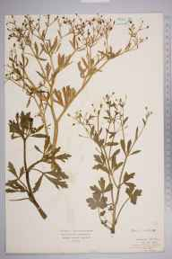 Ranunculus sceleratus herbarium specimen from Salthouse Marshes, VC27 East Norfolk in 1922 by Mr Isaac A Helsby.