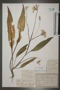 Allium ursinum herbarium specimen from Saint Mary Cray, VC16 West Kent in 1892 by J H P.