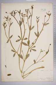 Ranunculus sceleratus herbarium specimen from Catford, VC16 West Kent in 1903 by William Henry Griffin.