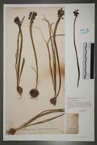 Muscari neglectum herbarium specimen from Kent by William Henry Griffin.