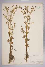 Ranunculus sceleratus herbarium specimen from Keston, VC16 West Kent in 1900 by William Henry Griffin.