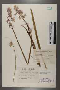 Hyacinthoides non-scripta herbarium specimen from Crabbe Wood, VC11 South Hampshire in 1912 by Richard Barker Ullman.