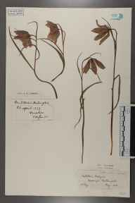 Fritillaria meleagris herbarium specimen from Northampton, VC32 Northamptonshire in 1900 by Hugh Neville Dixon.