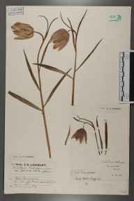 Fritillaria meleagris herbarium specimen from Burghfield, VC22 Berkshire in 1923 by Mr Job Edward Lousley.