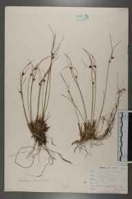 Juncus trifidus herbarium specimen from Beinn Eighe, VC105 West Ross & Cromarty in 1896.
