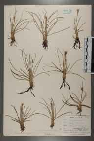 Juncus squarrosus herbarium specimen from Widdybank Fell, Teesdale, VC66 County Durham in 1903 by Mr Allan Octavian Hume.