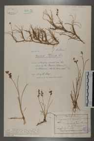 Juncus gerardii herbarium specimen from Berrow, VC6 North Somerset in 1887 by Mr James Walter White.