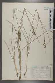 Juncus compressus herbarium specimen from Oxford, Pixey Mead, VC23 Oxfordshire in 1934 by John Frederick Gustav Chapple.